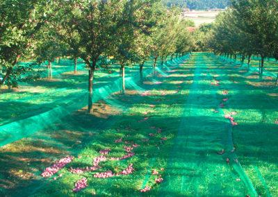 Verger de damassiniers à l'heure de la récolte.